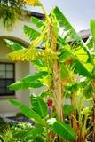 Musa basjoo, Japanese Banana tree. Taken in Tampa Florida Stock Photos
