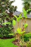 Musa basjoo, Japanese Banana tree. Taken in Tampa Florida Royalty Free Stock Photo