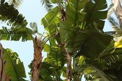 Musa cavendishii plant in the garden. In Elche, Spain Stock Photos