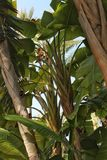 Musa cavendishii plant in the garden. In Elche, Spain Royalty Free Stock Photography