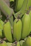Musa X Paradisiaca L, Green Banana. Green Banana Banane, Musa X Paradisiaca L Royalty Free Stock Photos