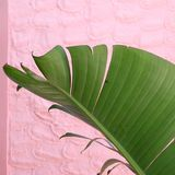 Musa leave detail. Musa plant leave detail in front of a pink wall Royalty Free Stock Photography