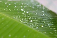 Musa sp Bananowy liść z wodnej kropelki kropli rosą zdjęcia royalty free