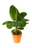 Musa Tropicana Banana. Isolated flower in pot: Musa Tropicana Banana Stock Photos