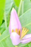 Musaceae del Ornamental del plátano imágenes de archivo libres de regalías