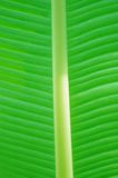 Musaceae Ensete ventricosum, Abyssinian banana Stock Image