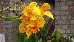 Musaceaebloemen stock video
