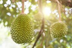 Musang king durian tree in farm. royalty free stock images