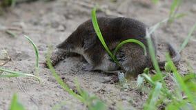 Musaraña común del pequeño mamífero (araneus del Sorex) en hierba metrajes