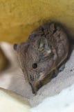 Musaraña - Soricidae Fotos de archivo libres de regalías
