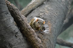musaraigne d'arbre Photo libre de droits