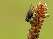 musca предпосылки autumnalis красивейший стоковая фотография