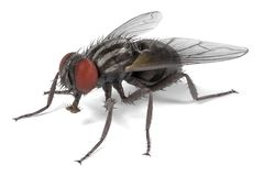 Musca domestica - common fly Stock Photography