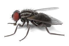 Musca domestica - common fly Royalty Free Stock Photo