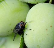 Musca domestica - house fly Stock Image