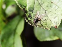Musca domestica - house fly Royalty Free Stock Photos