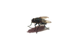 Musca domestica. Isolated fly from the closeup Royalty Free Stock Photos