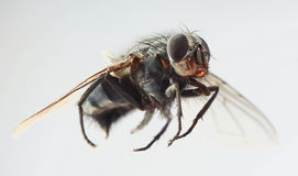 Musca Domestica Magnification Stock Photo