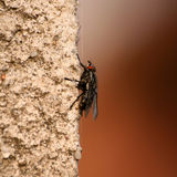 Musca domestica on wall Stock Photo