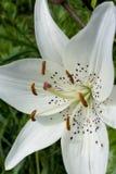 Muscadet liljanärbild Arkivbild