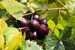 Muscadine Dark Purple Grapes Growing on a Vine. Muscadine Grapes Ripe Growing on the Vine in North Carolina royalty free stock photo