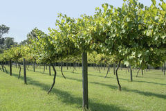 Muscadine Grape Vineyard. Side View stock images