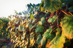 Muscadine Grapes on Vine. With lots of black/purple grapes and  foliage with sun shining on them Royalty Free Stock Photography