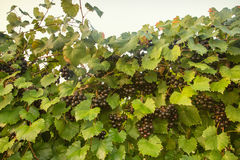 Muscadine Grapes on Vine. With lots of black/purple grapes and green foliage Stock Image