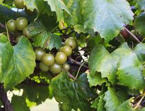 Muscadine Green Grapes Growing on a Vine. Muscadine Grapes Fruit Growing Naturally on the Vine in a Vineyard stock photos