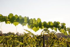 Muscadine Gronowy winograd pokazuje liście Obrazy Royalty Free