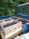 Muscadine Harvest. Cardboard crates in the back of a pick up truck filled with Muscadine grapes at a farm at harvest time stock photo
