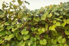 Muscadine winogrona na winogradzie Obraz Stock