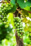 Muscadines/Grapes on the Vine royalty free stock photo