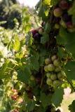 Muscadynedruiven in een wijngaard Stock Foto's
