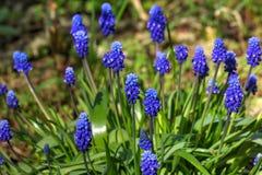 Muscari δασικό λευκό άνοιξη λουλουδιών Στοκ εικόνες με δικαίωμα ελεύθερης χρήσης
