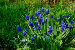 Muscari δασικό λευκό άνοιξη λουλουδιών Στοκ Εικόνες