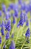 muscari κήπων Στοκ Εικόνες