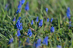 Muscari λουλουδιών βουνών Στοκ Εικόνες