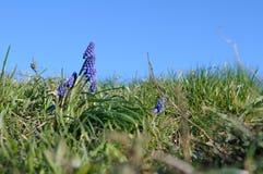 Muscari λουλουδιών βουνών Στοκ εικόνες με δικαίωμα ελεύθερης χρήσης