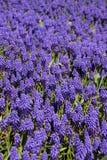 muscari υάκινθων σταφυλιών armeniacum bluebells Στοκ φωτογραφία με δικαίωμα ελεύθερης χρήσης