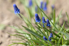 Muscari весны Стоковые Изображения
