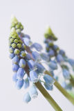 Muscari royalty-vrije stock fotografie