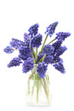 Muscari Royalty Free Stock Photography