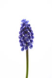muscari obrazy royalty free