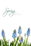 Muscari Royalty Free Stock Images