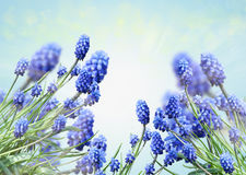 Muscari Obraz Royalty Free