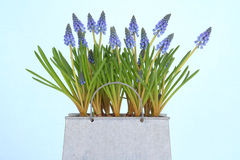 muscari royaltyfria foton