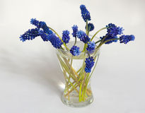 Muscari Photographie stock