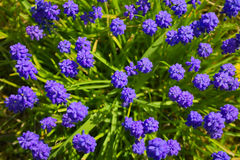 Muscari obrazy stock