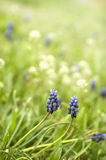 Muscari Royalty-vrije Stock Foto